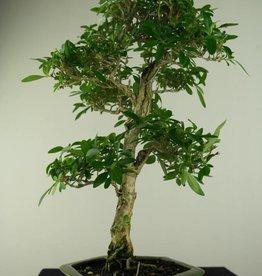 Bonsai Neige de juin, Serissa foetida, no. 7168