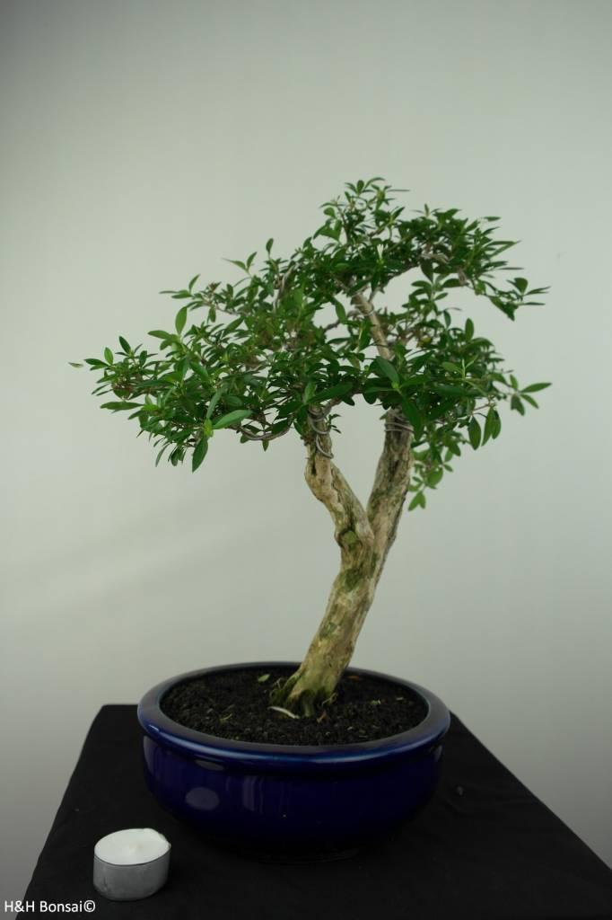 Bonsai Neige de juin, Serissa foetida, no. 7177