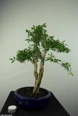 Bonsai Serissa foetida, nr. 7177