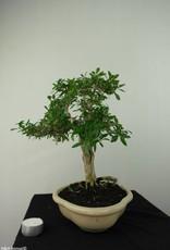 Bonsai Neige de juin, Serissa foetida, no. 7178