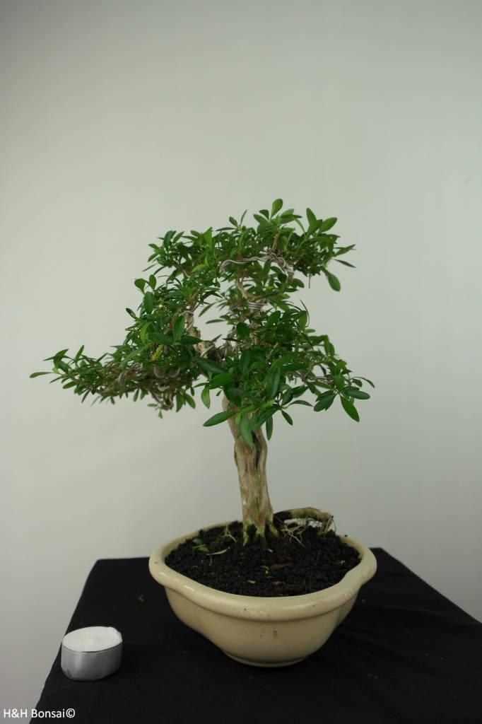 Bonsai Serissa foetida, nr. 7178