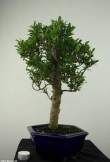 Bonsai Ixora, no. 7179