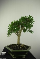Bonsai Troène, Ligustrum sinense, no. 7180