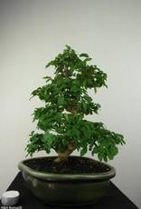 Bonsai Troène, Ligustrum sinense, no. 7181
