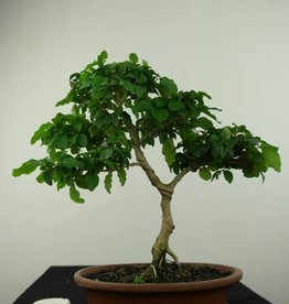Bonsai Troène, Ligustrum sinense, no. 7182