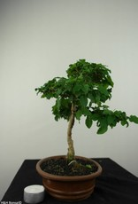 Bonsai Troène, Ligustrum sinense, no. 7182