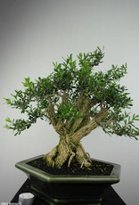Bonsai Buxus harlandii, nr. 7187