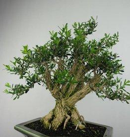 Bonsai Buis,Buxus harlandii, no. 7187