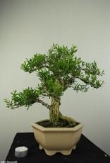 Bonsai Buis,Buxus harlandii, no. 7189