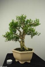 Bonsai Buxus harlandii, nr. 7189