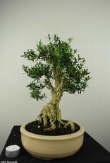 Bonsai Buis,Buxus harlandii, no. 7190