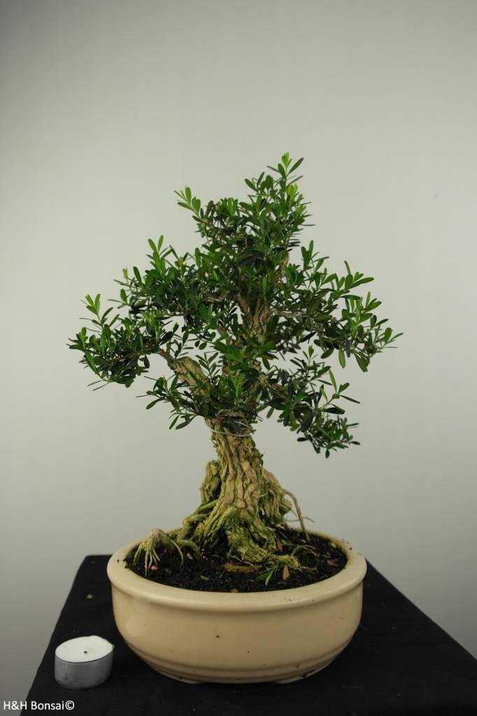 Bonsai Buxus harlandii, nr. 7190