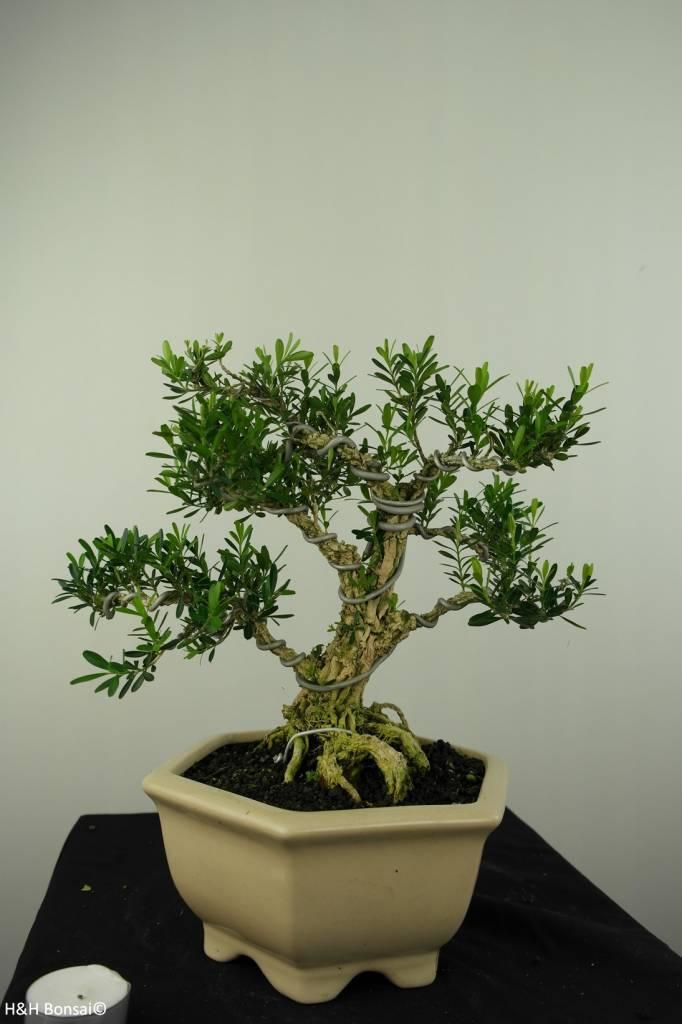 Bonsai Buxus harlandii, nr. 7191