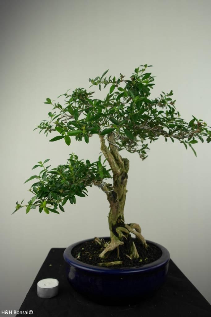 Bonsai Serissa foetida, nr. 7196