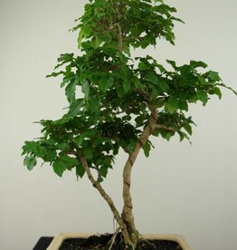 Bonsai Troène, Ligustrum sinense, no. 7203B