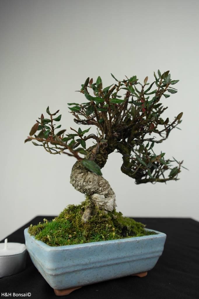 Bonsai Shohin Trachelospermum, Japanse Sterjasmijn, nr. 7237