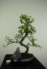 Bonsai Ulmus met rots, Chinese Iep, nr. 7254