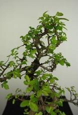 Bonsai Orme de Chine avec roche, Ulmus, no. 7254