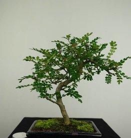 Bonsai Faux poivrier,Zanthoxylum piperitum, no. 7270