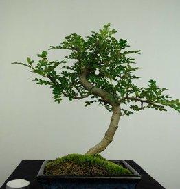 Bonsai Faux poivrier,Zanthoxylum piperitum, no. 7271