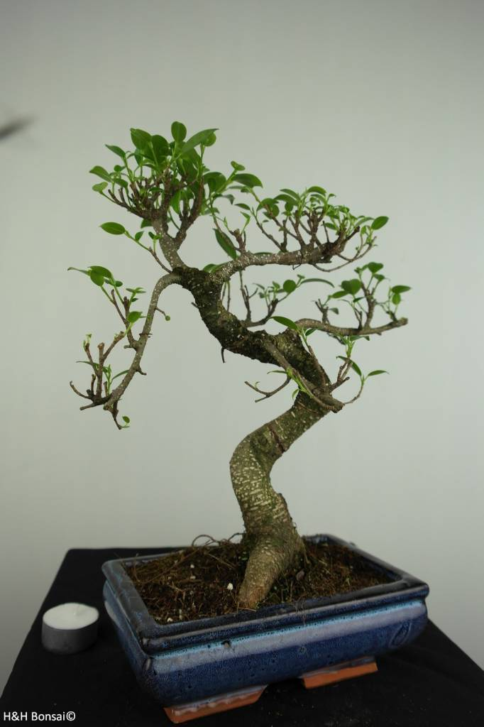 Bonsai Figuier tropical, Ficus retusa, no. 7276