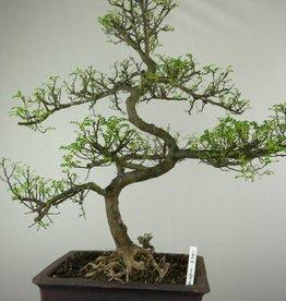 Bonsai Faux poivrier,Zanthoxylum piperitum, no. 7293