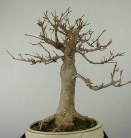 Bonsai Acer buergerianum, Drietands Esdoorn, nr. 7298