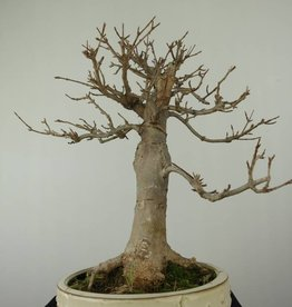 Bonsai L'Erable de Burger, Acer buergerianum, no. 7298