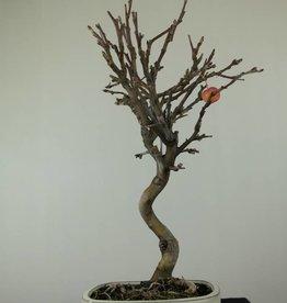 Bonsai Malus halliana, Appel, nr. 6609