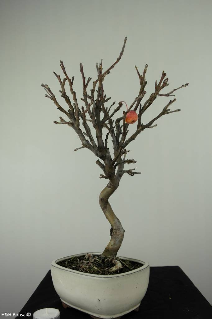Bonsai le Pommier, Malus halliana, no. 6609