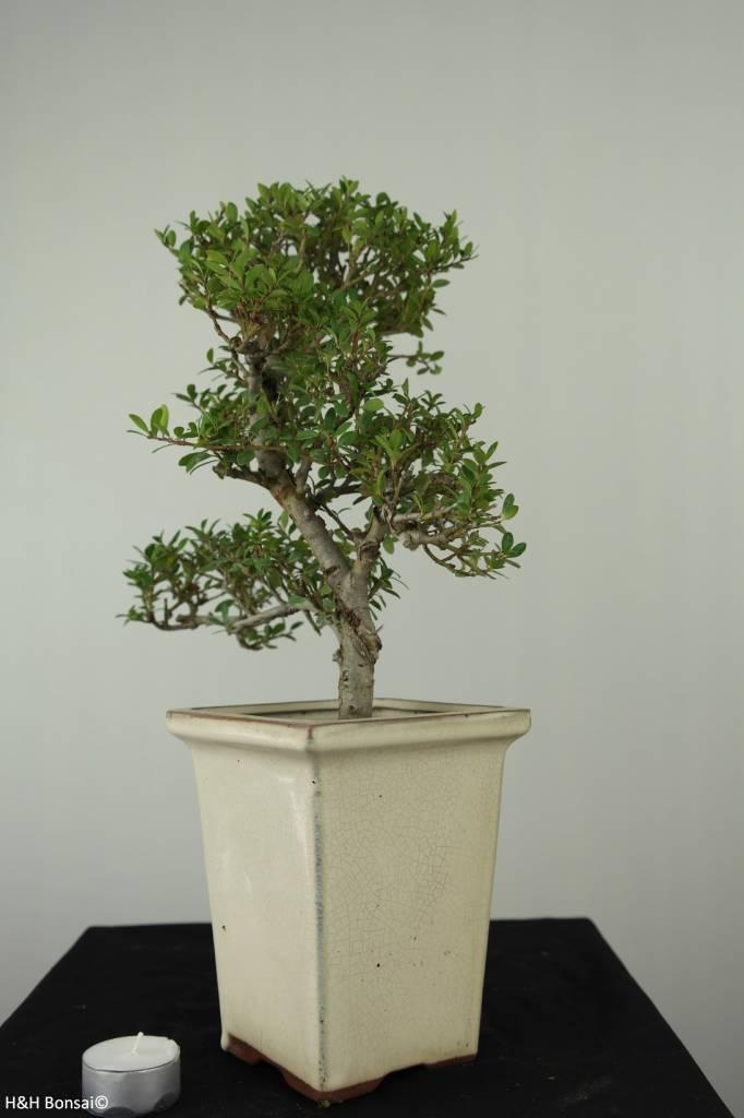 Bonsai Houx japonais, Ilexcrenata, no. 6720