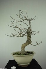 Bonsai Ilex serrata, no. 6780