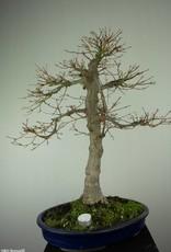 Bonsai Acer palmatum, Japanse esdoorn, nr. 6784
