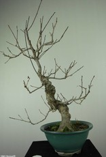 Bonsai Ilex serrata, Japanse winterbes, nr. 7048