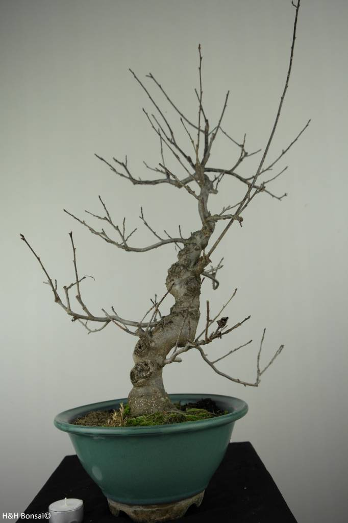 Bonsai Ilex serrata, no. 7048