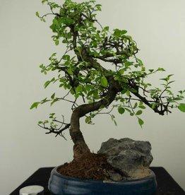 Bonsai Orme de Chine avec roche, Ulmus, no. 7330