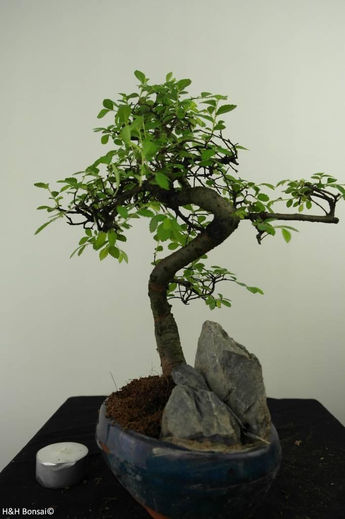 Bonsai Orme de Chine avec roche, Ulmus, no. 7331