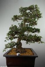 Bonsai Azalea Satsuki Kaho, nr. 7354