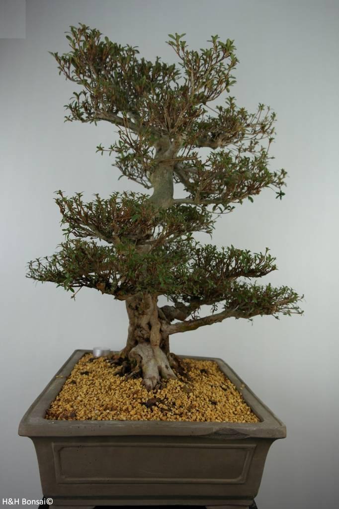 Bonsai Azalea Satsuki Kinsai, nr. 7367