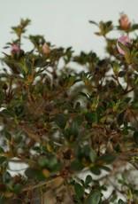 Bonsai Azalea Satsuki Kakuo, nr. 7368