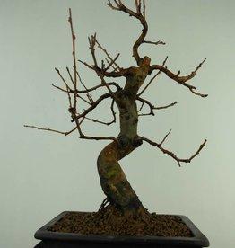 Bonsai Cognassier de Chine, Pseudocydonia sinensis, no. 7369