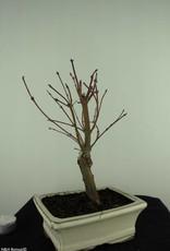 Bonsai Acer palmatum Batafurai, Butterfly, nr. 7378