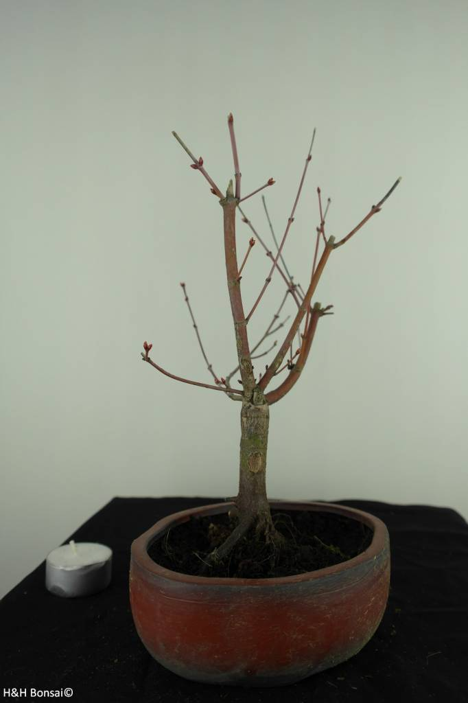Bonsai Acer palmatum Orange Dream, nr. 7381