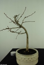 Bonsai Faux mélèze, Pseudolarix amabilis, no. 7390