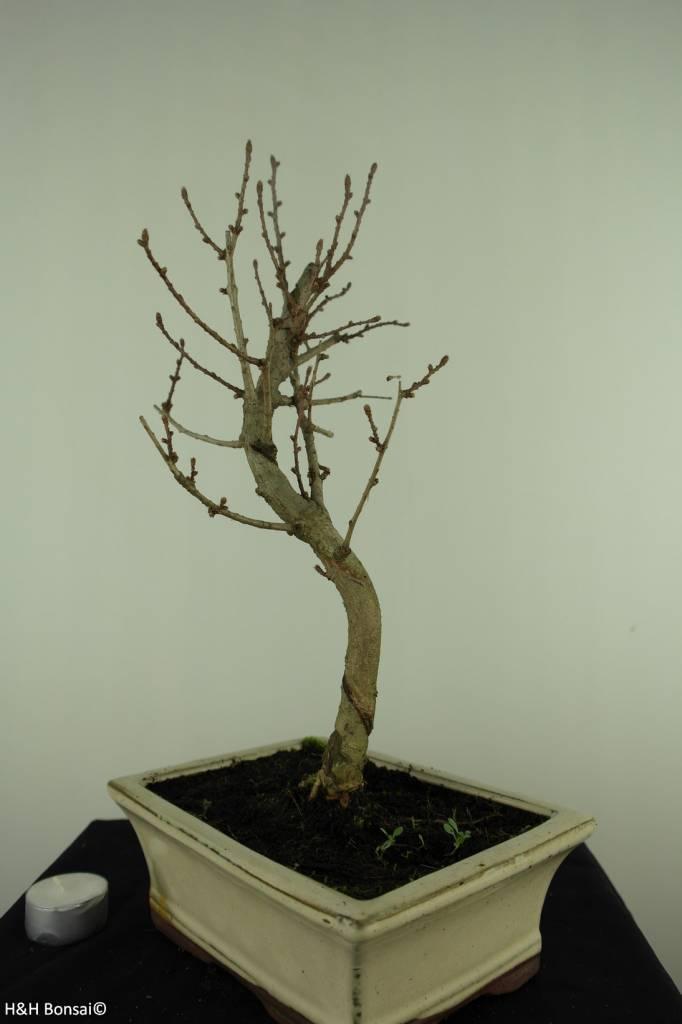 Bonsai Faux mélèze, Pseudolarix amabilis, no. 7400