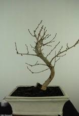 Bonsai Pseudolarix amabilis,Japanse goudlarix, nr. 7401
