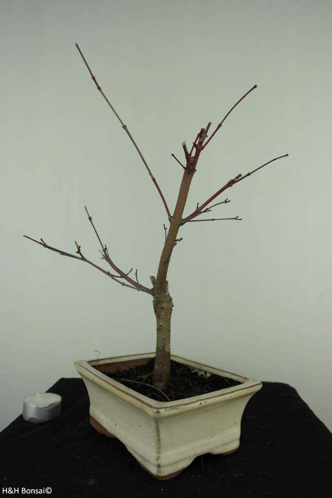 Bonsai Acer palmatum deshojo, Japanse esdoorn, nr. 7407