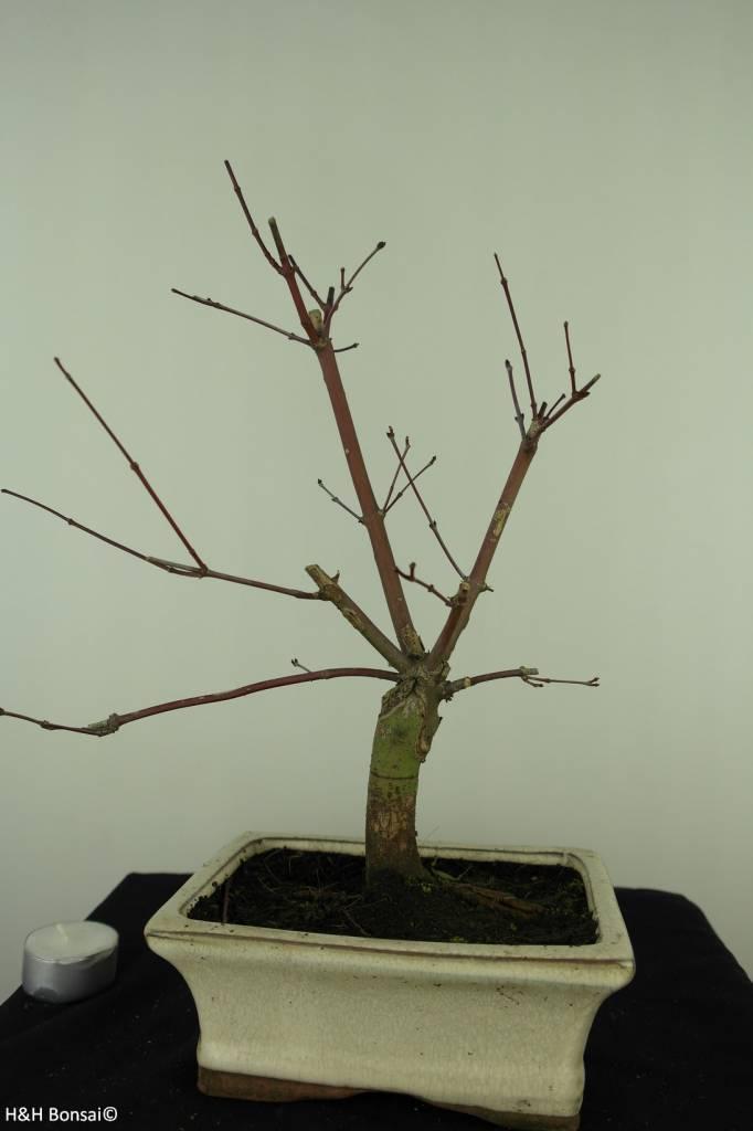 Bonsai Acer palmatum deshojo, Japanse esdoorn, nr. 7412