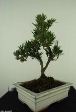 Bonsai Podocarpus, Japanse boeddha den, nr. 7417