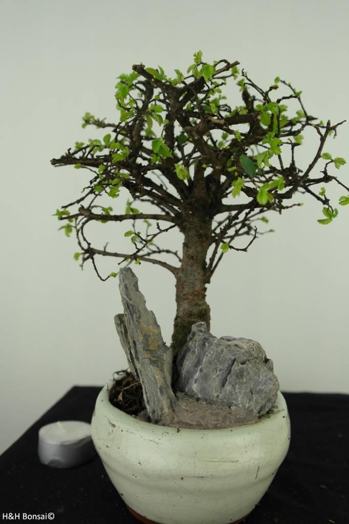 Bonsai Ulmus met rots, Chinese Iep, nr. 7428
